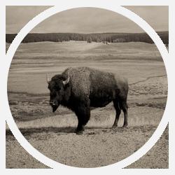 Buffalos-Test